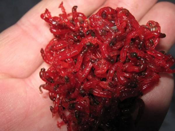 личинки хирономид для кормления рыб