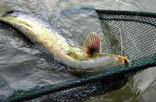 Рыбалка на сома на квок